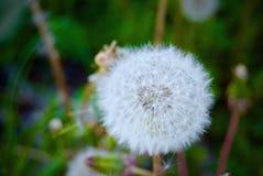 Vit blomma i trädgård Arkivfoto