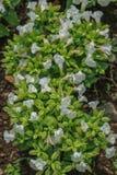 Vit blomma i trädgården royaltyfria bilder