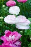 Vit blomma i trädgården Royaltyfria Foton