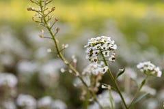 Vit blomma - Lobularia Royaltyfri Foto