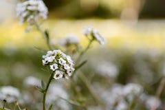 Vit blomma - Lobularia Royaltyfri Bild