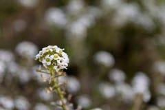 Vit blomma - Lobularia Royaltyfri Fotografi