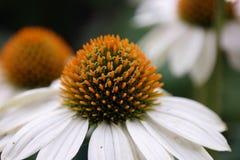 Vit blomma med den gula hjorten Arkivfoton