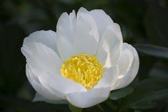 Vit blomma med den gula mitten Arkivfoto