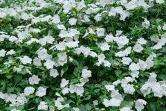 Vit blomma med det gröna bladet Arkivfoto