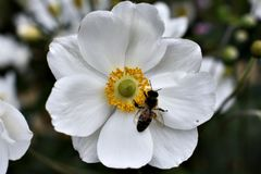 Vit blomma med ett bi Arkivbilder