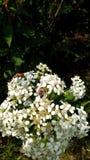Vit blomma med ett bi Fotografering för Bildbyråer