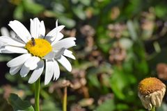 Vit blomma med ett kryp Royaltyfri Foto