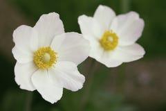 Vit blomma med gräsplan Arkivbilder