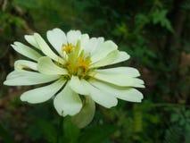 Vit blomma med grön bakgrund Royaltyfria Foton