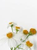 Vit blomma med guling pollen1 royaltyfri foto