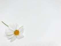 Vit blomma med gult pollen fotografering för bildbyråer