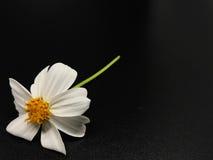 Vit blomma med gult pollen royaltyfria foton
