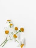 Vit blomma med gult pollen arkivbilder