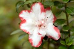 Vit blomma med röda kanter i slut upp arkivfoton