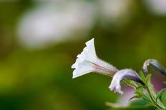 Vit blomma med stammen Royaltyfri Fotografi