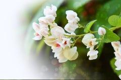 Vit blomma med suddig bakgrund Royaltyfria Foton
