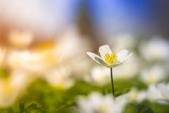 Vit blomma med trevlig färgrik bakgrund Royaltyfria Bilder