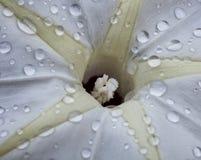 Vit blomma med vattendroppar Arkivfoto