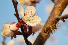 Vit blomma och bi Fotografering för Bildbyråer