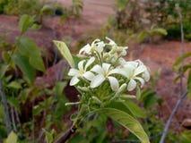 vit blomma och blad Arkivfoto