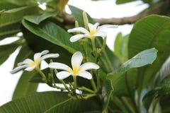 Vit blomma och grönt stort blad Royaltyfri Foto