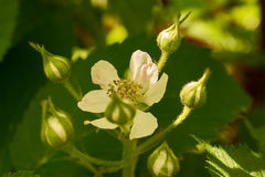 Vit blomma och knoppar Blackberry Arkivfoto