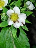 Vit blomma och myror Arkivbild