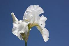 Vit blomma på bakgrund för blå himmel Royaltyfria Bilder