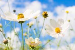 Vit blomma på blå himmel Royaltyfri Foto