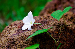 Vit blomma på den röda stenen arkivbild