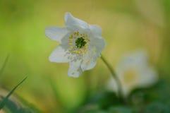 Vit blomma på en grön bakgrund Fotografering för Bildbyråer