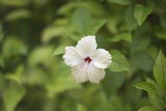 Vit blomma på en suddig grön bakgrund Fotografering för Bildbyråer