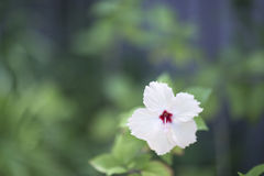 Vit blomma på en suddig grön bakgrund Royaltyfri Foto