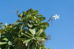 Vit blomma på ett exotiskt träd arkivbild