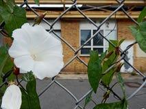Vit blomma på ett staket arkivfoton