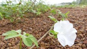 Vit blomma på jordningen Fotografering för Bildbyråer