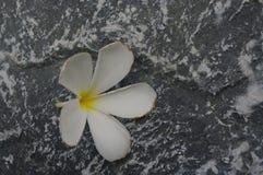 Vit blomma på stenyttersidabakgrund royaltyfria bilder