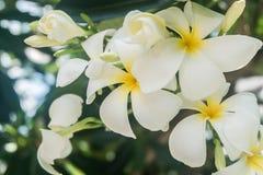 Vit blomma på trädet (frangipanien) Royaltyfria Bilder