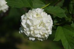 Vit blomma som blommar på en buske royaltyfri foto