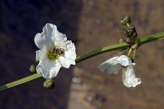 Vit blomma som pollineras av art av flugan Royaltyfri Fotografi