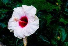 Vit blomma som tas av iphone 5 Royaltyfri Foto