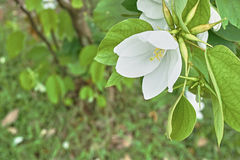 Vit blomma, träd för snöig orkidé, i den gröna trädgården Royaltyfri Fotografi