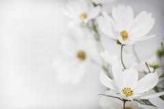 Vit blomma två i fokus på vänster sida Royaltyfri Fotografi