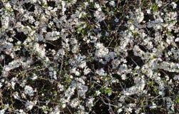 Vit blommande Prunusspinosa royaltyfria bilder