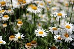 Vit blommande tusensköna Arkivbilder