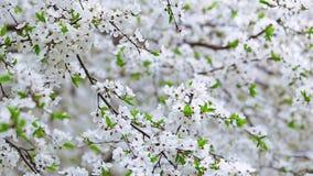 Vit blommande vårfruktträdtextur stock video