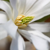 Vit blomning arkivfoton