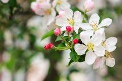 Vit blomning av att blomstra Apple-trädet Royaltyfria Bilder