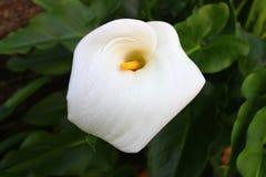 Vit blomning av en härlig blomma Arkivfoton